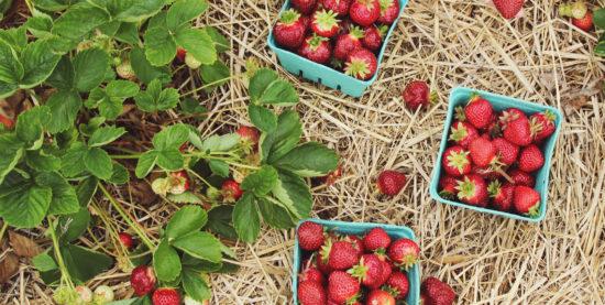 Blog banner - strawberry harvest